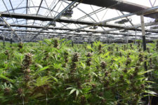 New York State Legalizes Adult-Use Marijuana; Cites Criminal Justice Reform
